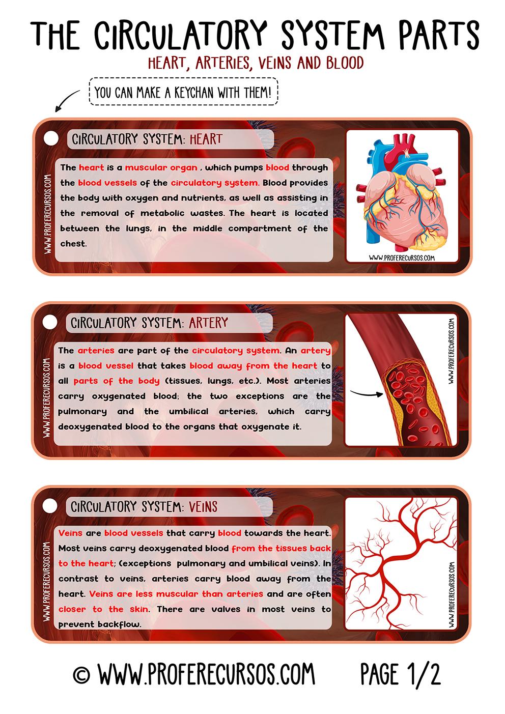 Circulatory-System-Organs