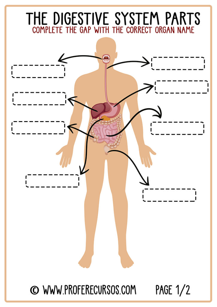 Digestive-System-Worksheet