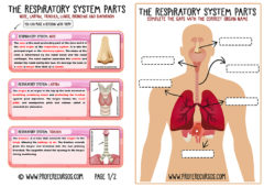 Respiratory-System-parts