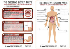 The Digestive System (ENGLISH)