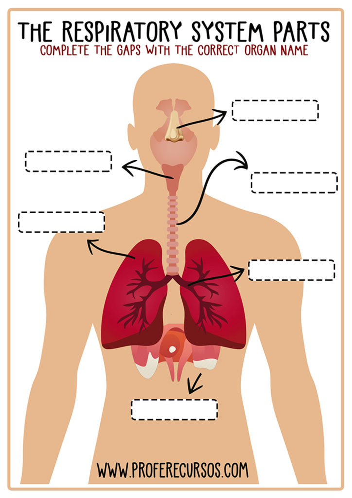 The-Respiratory-System-Worksheet